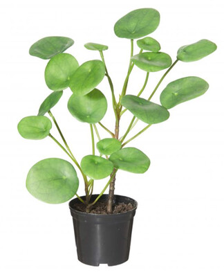 CHINESE MONEY PLANT - GARDEN POT