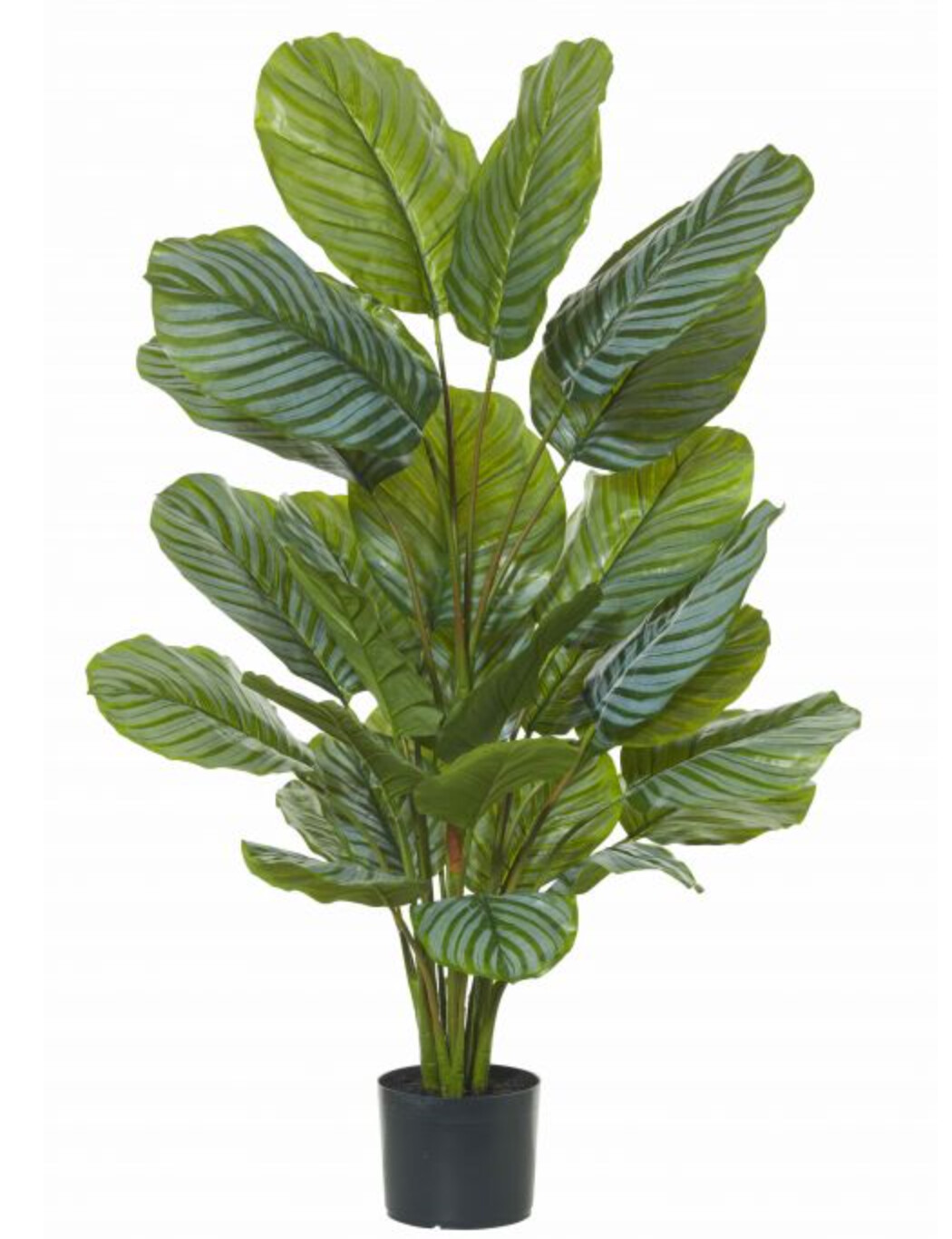 CALATHEA PLANT - GARDEN POT