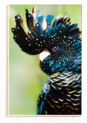 WALL ART - GLASS CRESTED BLACK COCKATOO