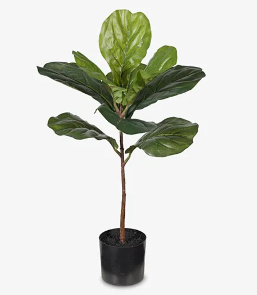 FIDDLE LEAF PLANT