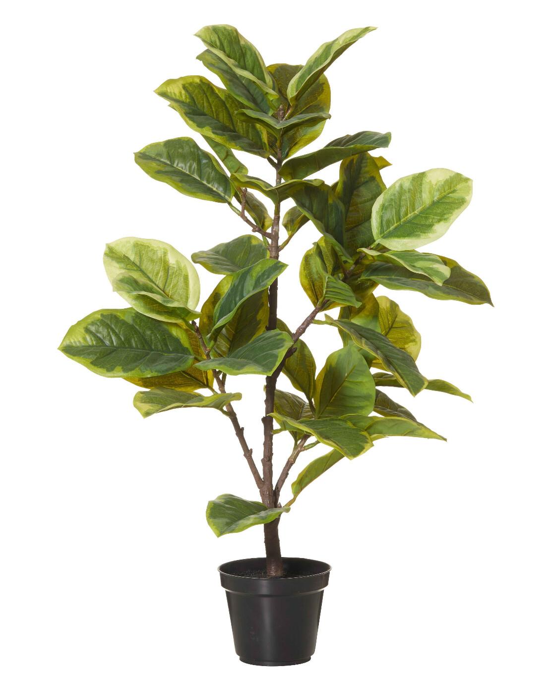 TURTLE SHELL PLANT
