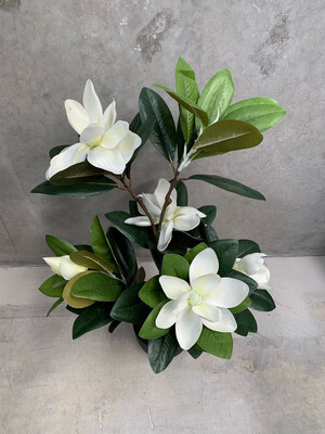 WHITE FLOWER LILLY MAGNOLIA IN POT
