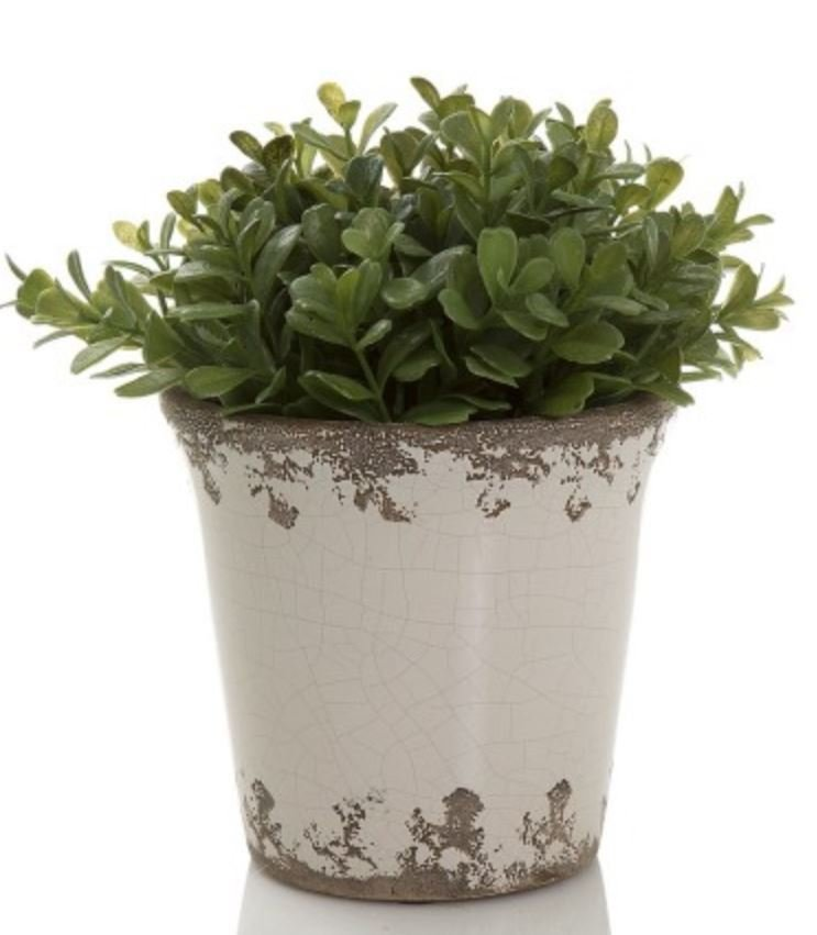 BOXWOOD GREEN IN CERAMIC POT