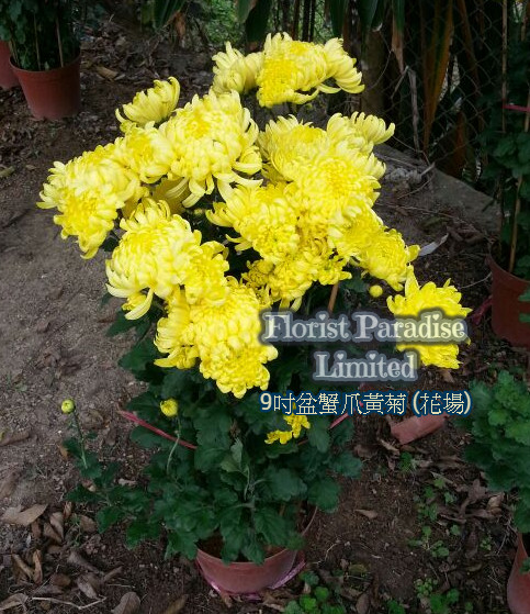 蟹爪黃菊(品種_無錫、寧波、綠綉球)