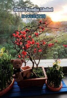 日本海棠(盆景)
