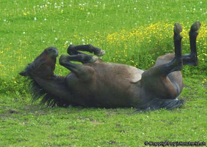 Webinar : Koliken beim Pferd