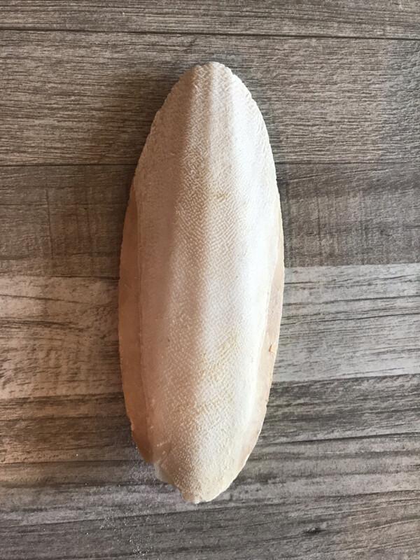 Reptile Bird GIANT Cuttlefish Bone
