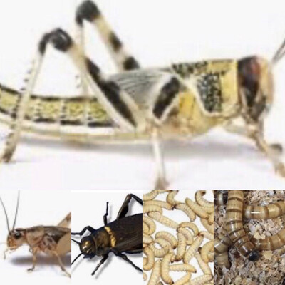 Livefood Locusts, Crickets, Waxworks, Morioworms, Mealworms AVAILABLE IN STORE ONLY Not Available For Online Ordering But Can Be Preordered. Stock Will Vary Due To Demand.