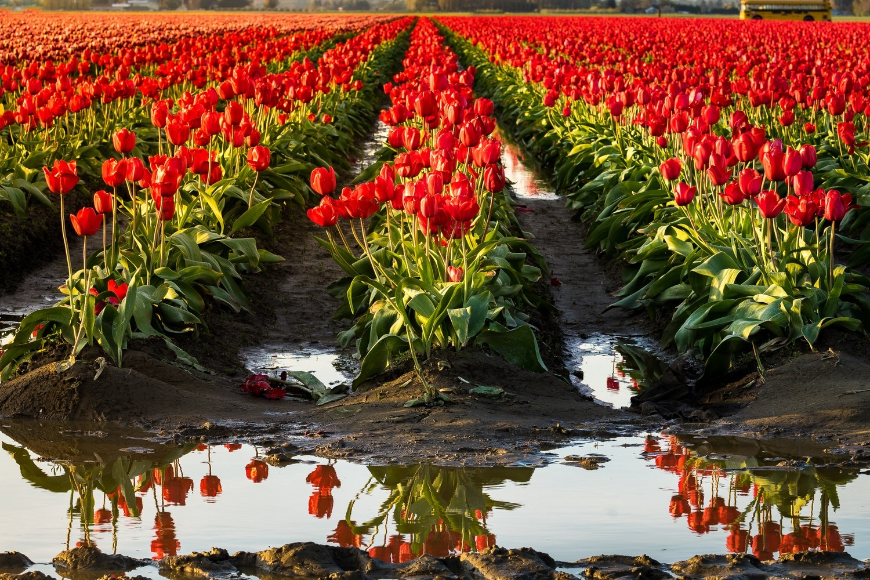 Reflection of Tulips
