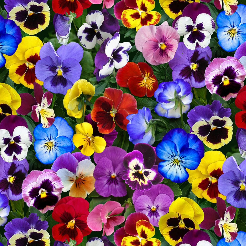 Lovely Pansies - Elizabeth Studio - 1/2m cut 55906