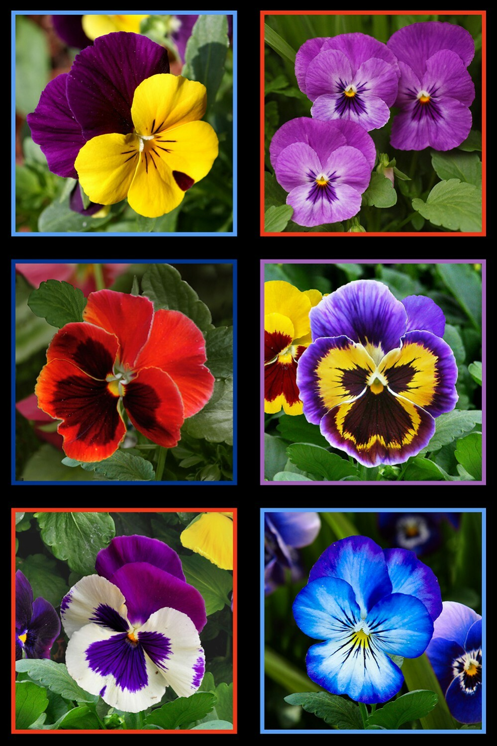 Lovely Pansies - Panel 56000
