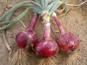 ONION RED - 1 Kg