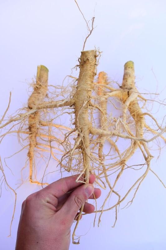 Dried Hemp roots - dry cannabis root - Hanfwurzeln - Hanfwurzel - radice di canapa - racine de chanvre