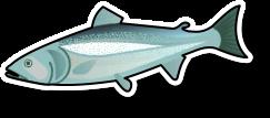 Fresh salmon Fillet Pin Boned (per kg)