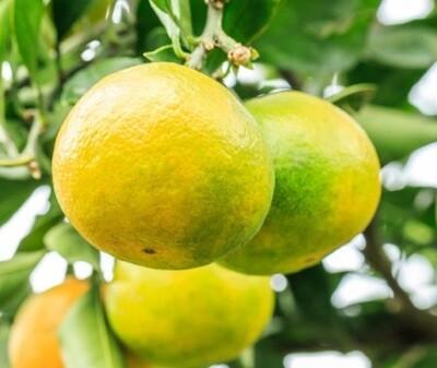 Navel Oranges (1 kg) برتقال ابو سره
