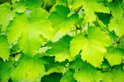 Vine leaves (500g) ورق عنب