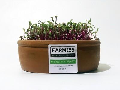Beetroot Microgreens Grow Pot فخار نمو بنجر
