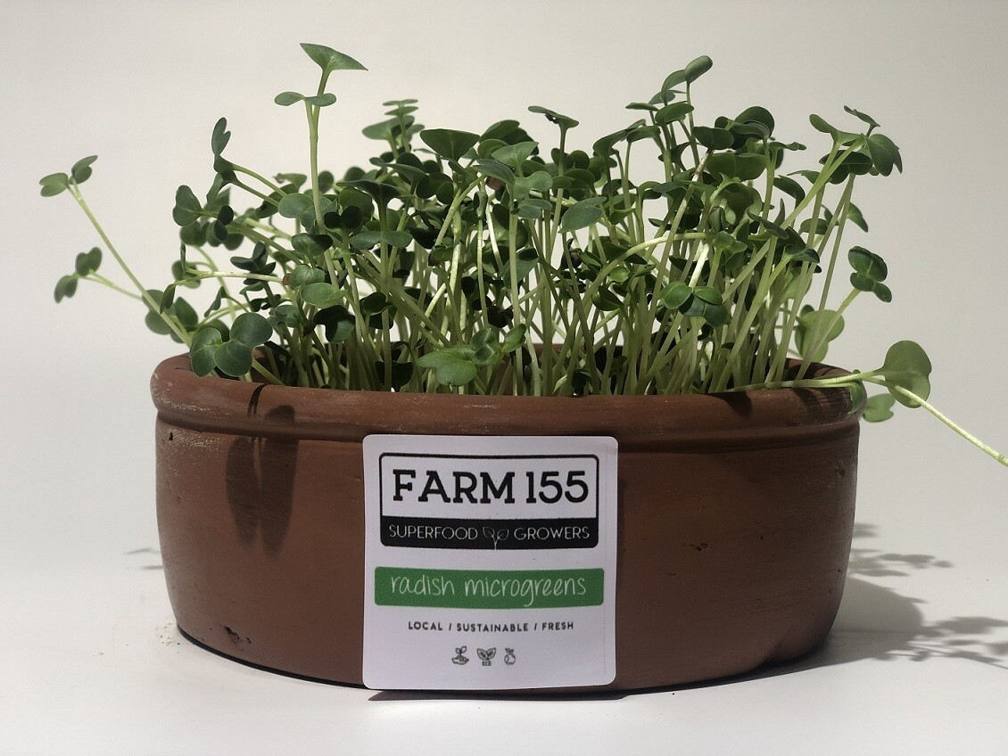Radish Microgreens Grow Pot فخار نمو فجل