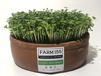 Arugula Microgreens Grow Pot فخارت ميكروجرينز جرجير