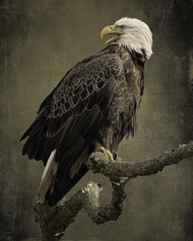 11x14 Maryland Eagle