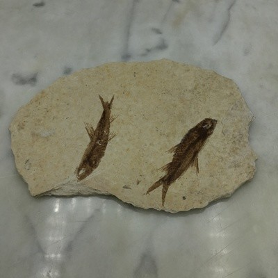 "Fish Fossil 3"""