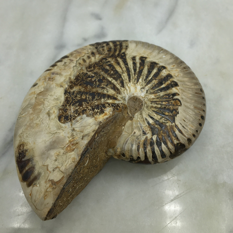 "Ammonite Fossil 3.5"""