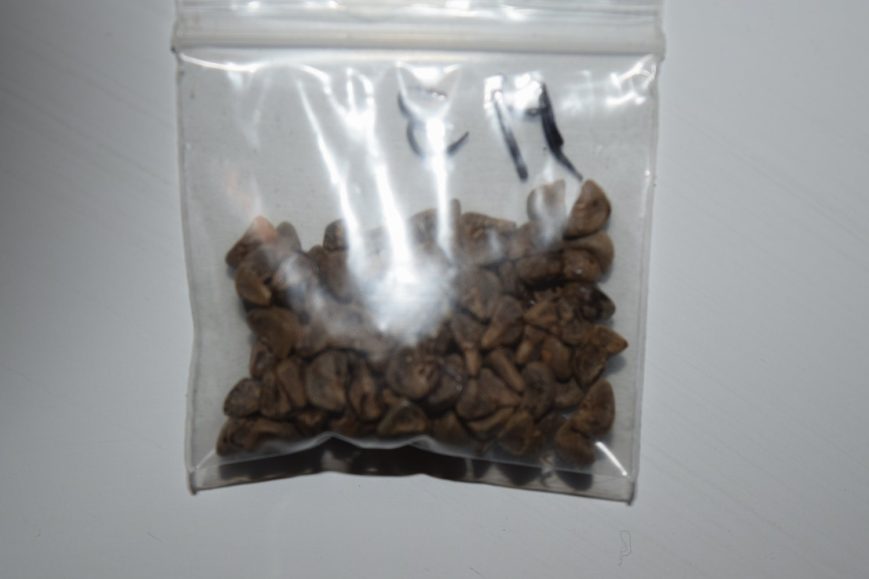100 Minghong 8234 Kenaf Seeds Medium Maturing - 90 Days
