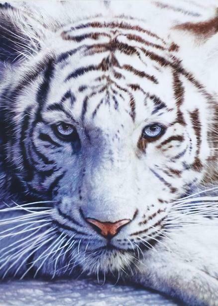 Картина по номерам (40х50см) Цветной MG3290 Белый тигр
