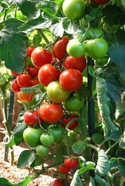 Amish village tomato (koy domates)  2lb