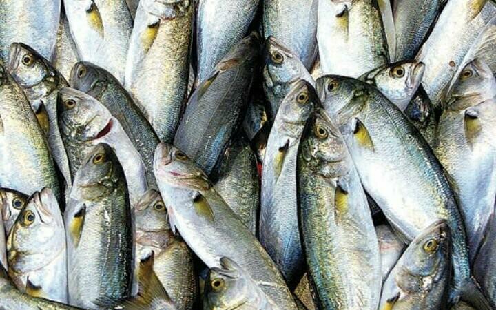 Fish Avenue Bluefish (Lüfer)(Gutted) Temizlenmiş Sarikanat, 32oz