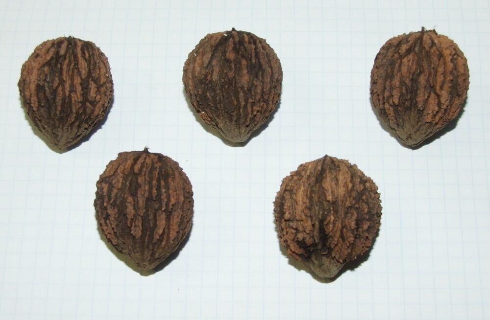 Семена черного ореха
