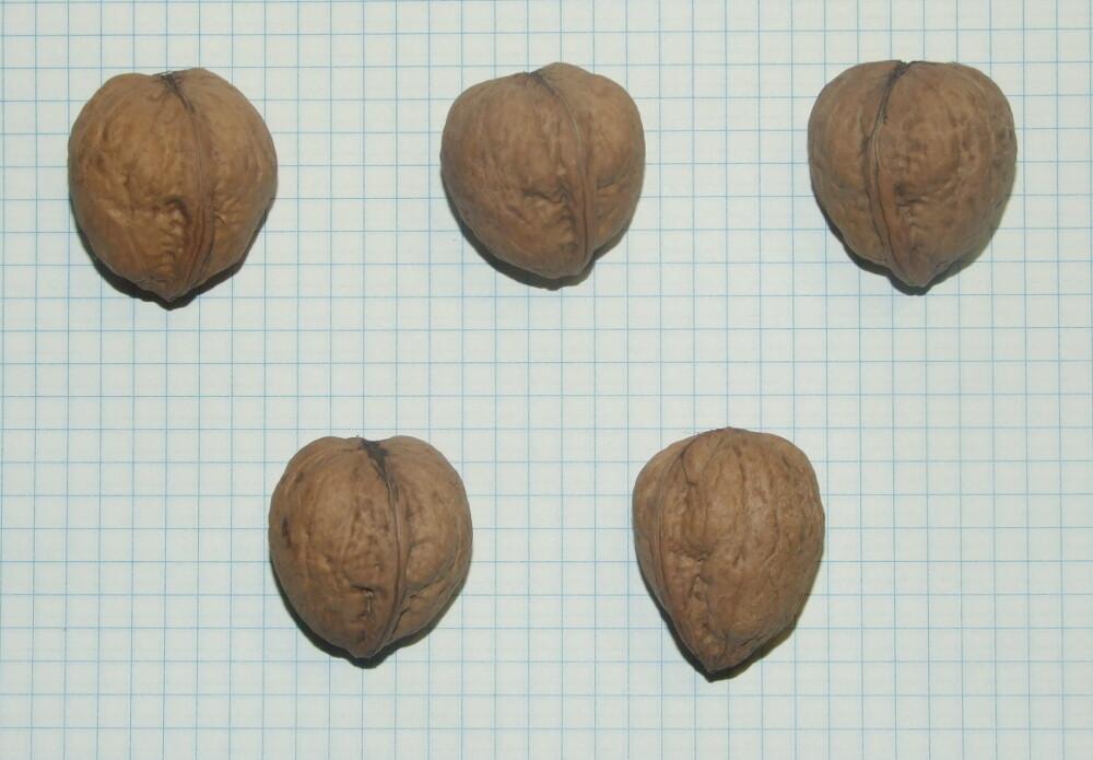 """Семена грецкого ореха """"Потомок Родины"""""""