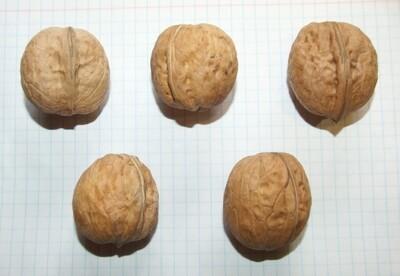 Семена грецкого ореха