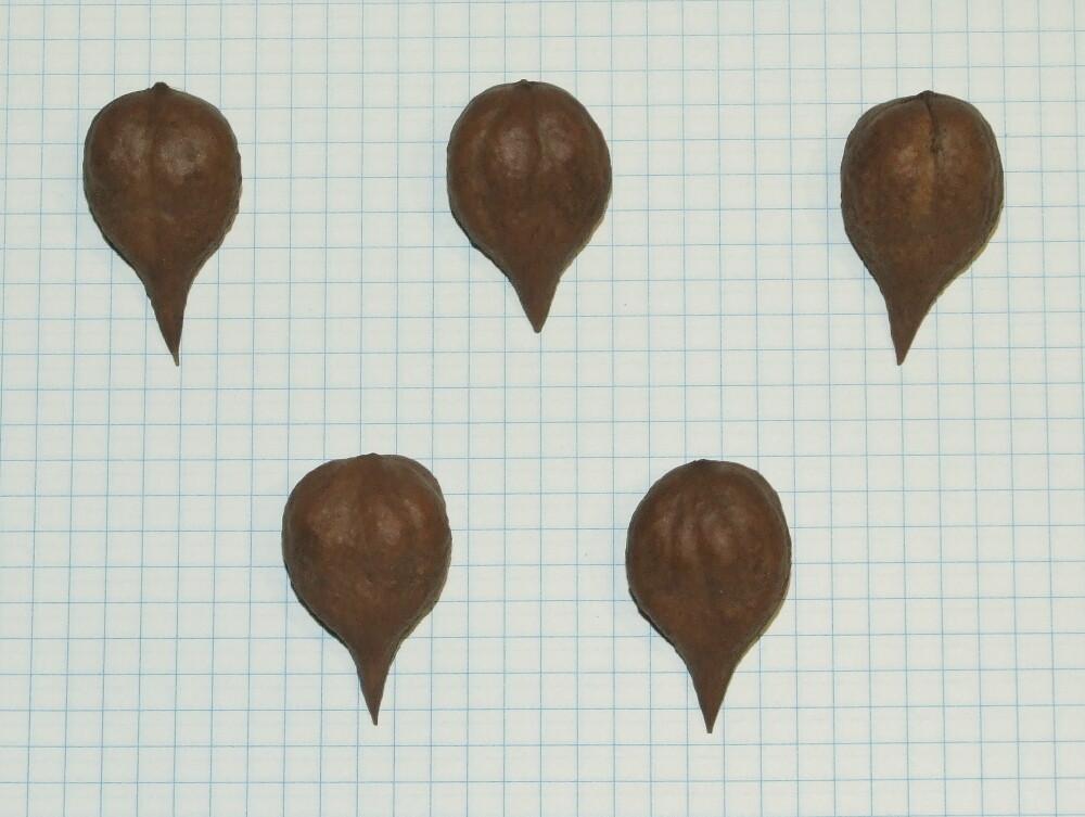 """Семена ореха сердцевидного """"типичный ЦФО с носиком"""""""