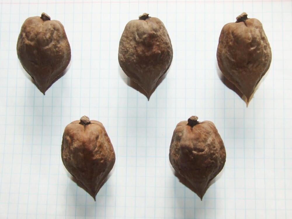 "Семена ореха сердцевидного ""крупноплодный ЦФО"""