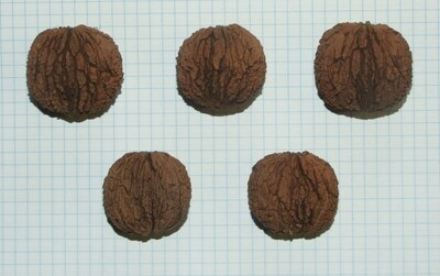 Семена ореха черного