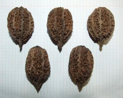 Семена ореха серого