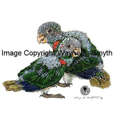 Baby Blue-Throated Conures - Ceramic Tiles