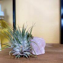 Crystal Air Plants