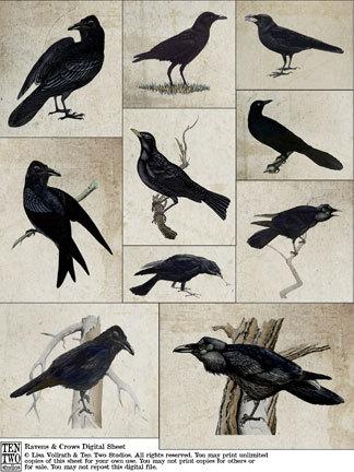 Ravens & Crows