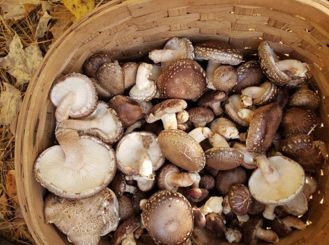 !!FRESH Shiitake Mushrooms 1/2lb per week for 12 week CSA; ORDER NOW, starts Thursday June 3rd.
