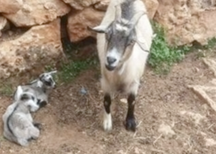 Beit Singer Animal Adoption - Dwarf Goat