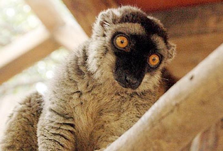 Beit Singer Animal Adoption - Lemur Monkey