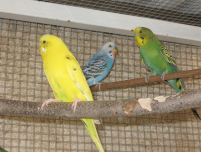 Beit Singer Animal Adoption - Australian Budgerigar Parrot