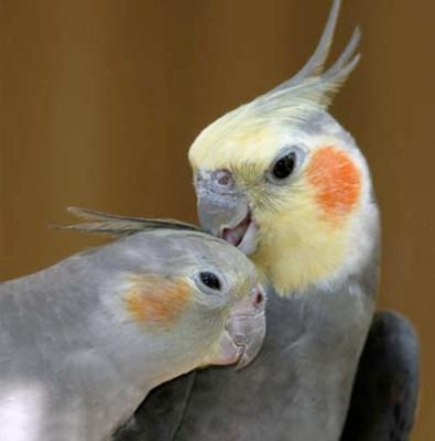 Beit Singer Animal Adoption - Cockateil Parrot