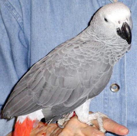 Beit Singer Animal Adoption - Jacko Talking Parrot