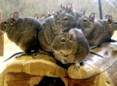 Beit Singer Animal Adoption - Degu