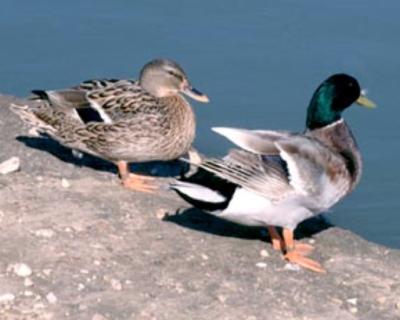Beit Singer Animal Adoption - Duck