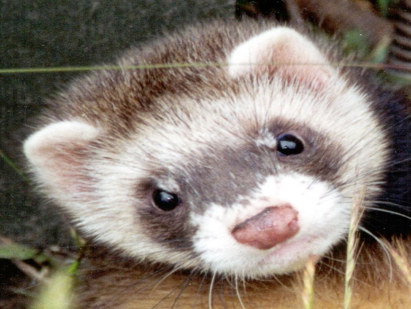 Beit Singer Animal Adoption - Ferret