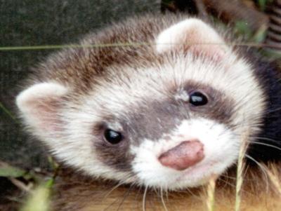 Beit Singer Animal Adoption - Ferret